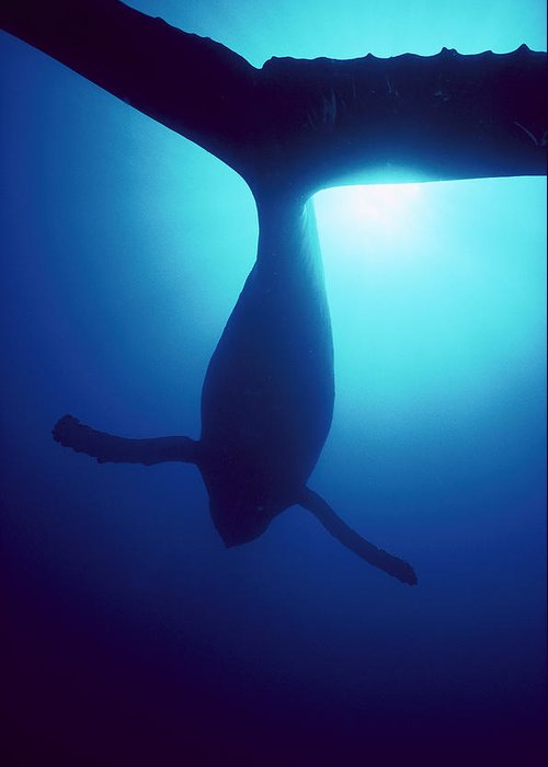 Mp Greeting Card featuring the photograph Humpback Whale Megaptera Novaeangliae by Flip Nicklin