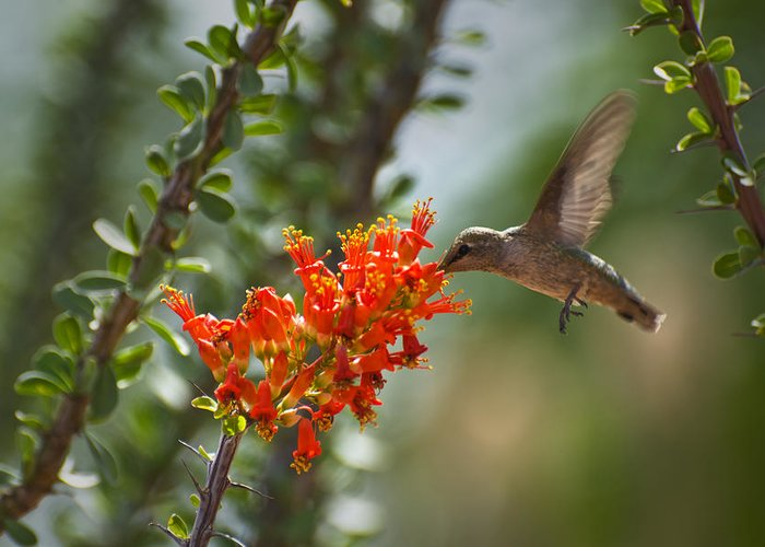 Hummingbird Greeting Card featuring the photograph Hums With Its Mouth Full by Richard Henne
