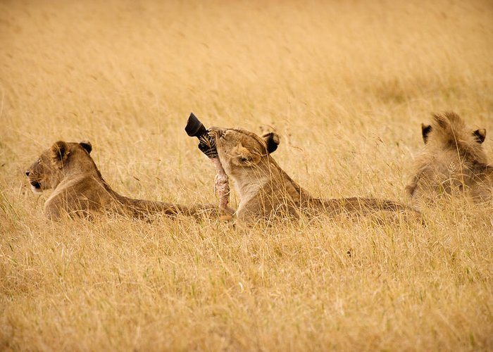 3scape Photos Greeting Card featuring the photograph Hungry Lions by Adam Romanowicz