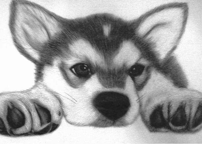 Puppies Greeting Card featuring the drawing Huskie Pup by Susan Barwell