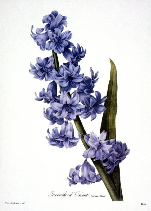 1833 Greeting Card featuring the photograph Hyacinth by Granger