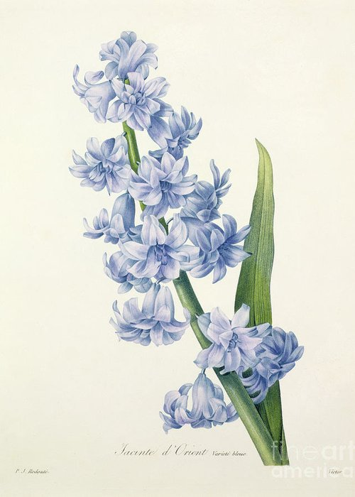 Hyacinthus Greeting Card featuring the drawing Hyacinth by Pierre Joseph Redoute