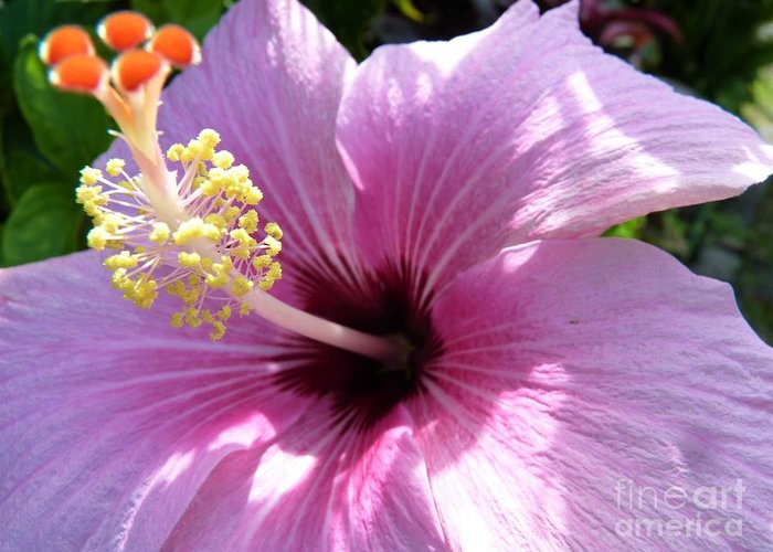 Pink Hibiscus Flower Greeting Card featuring the photograph Hybiscus Smile by Cat Pancake