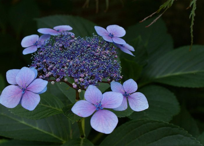 Hydrangea Greeting Card featuring the photograph Hydrangea Blue In The Garden Xii by Jacqueline Russell