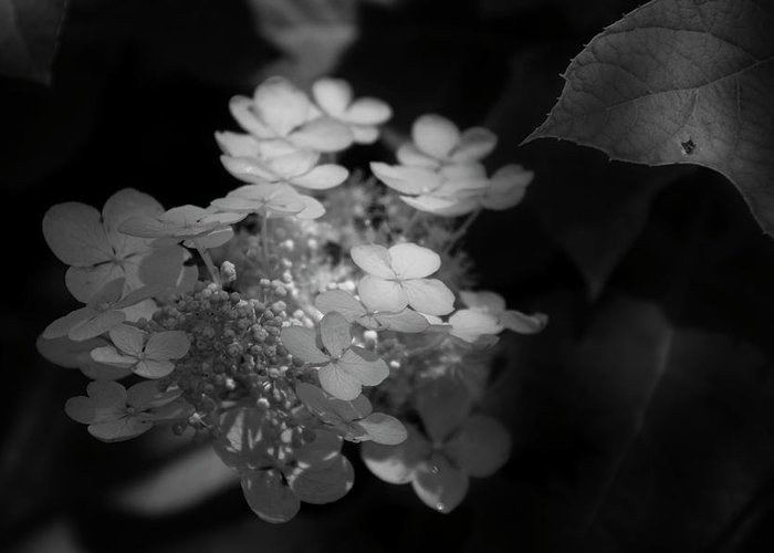 Hydrangea Greeting Card featuring the photograph Hydrangea In Black And White by Chrystal Mimbs