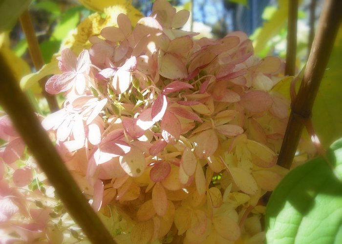 Flower Greeting Card featuring the photograph Hydrangea by John Julio