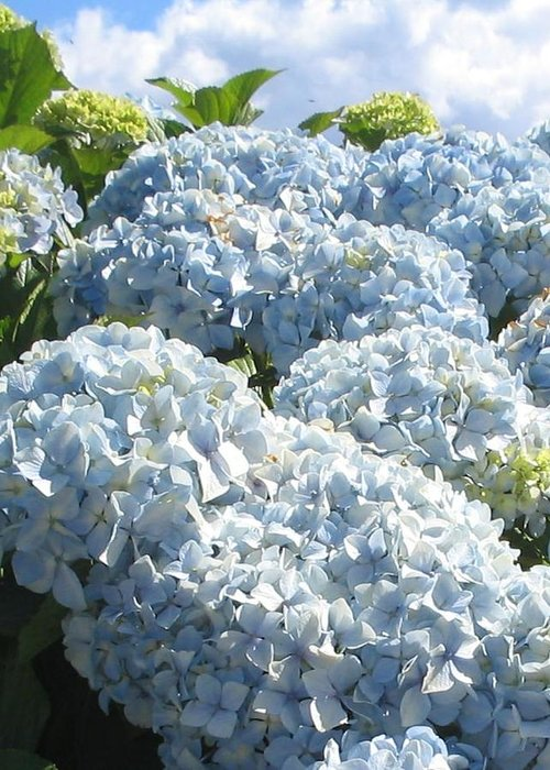 Blue Hydrangea Greeting Card featuring the photograph Hydrangeas by Valerie Josi