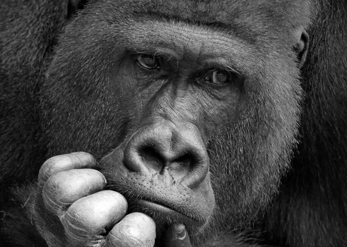 Western Gorillas Are Split Into Cross River Gorilla Hli I Can T Find Why And Lowland