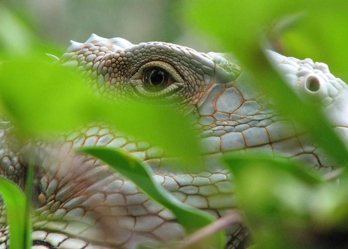 Lizard Greeting Card featuring the photograph I See You by April Camenisch