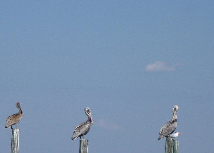 Pelican Greeting Card featuring the photograph I Was Here First by Jim Cooper