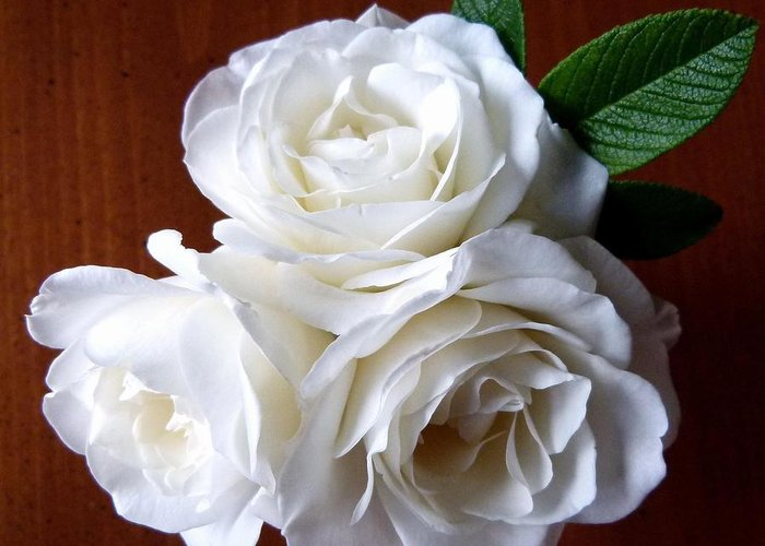 White Roses Greeting Card featuring the photograph Iceberg Rose Trio by Will Borden