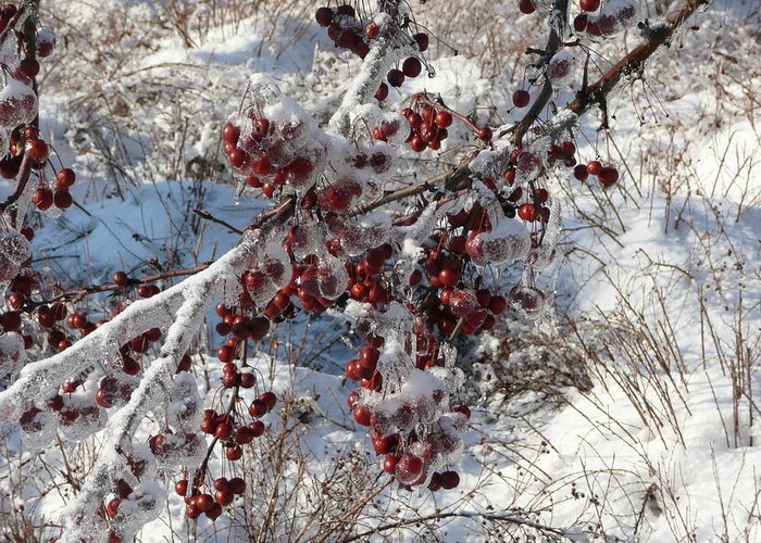 Tree Greeting Card featuring the photograph Iced Crab Apples by Dmytro Toptygin