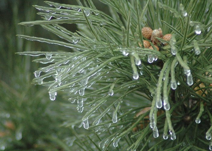 Nature Greeting Card featuring the photograph Iced Pine by Kathy Schumann