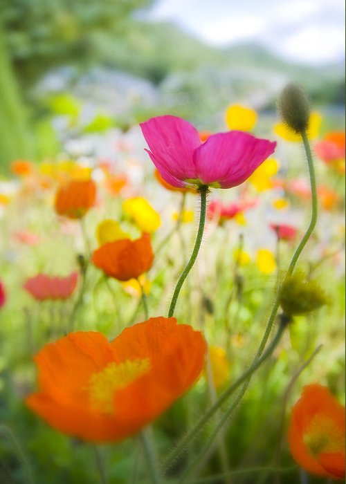 Flower Greeting Card featuring the photograph Iceland Poppies by Silke Magino