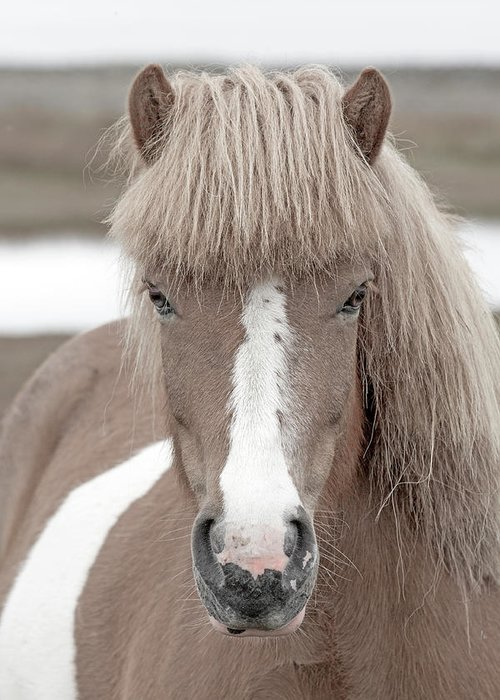 Horse Greeting Card featuring the photograph Icelandic Treasure by Betsy Knapp