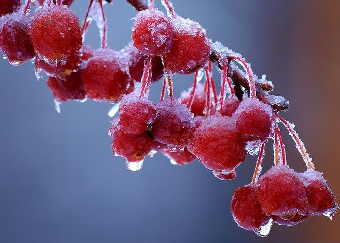 Winter Greeting Card featuring the photograph Icy Berries by Lisa Kane