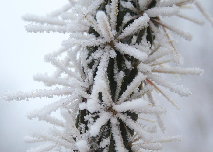 Ice Crystals Greeting Card featuring the photograph Icy Cactus by Ric Bascobert