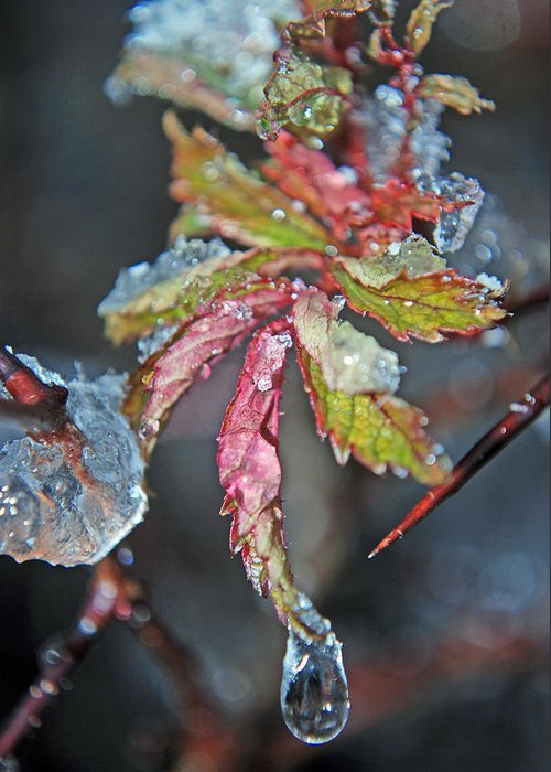 Winter Greeting Card featuring the photograph Icy Leaf by Lisa Gabrius