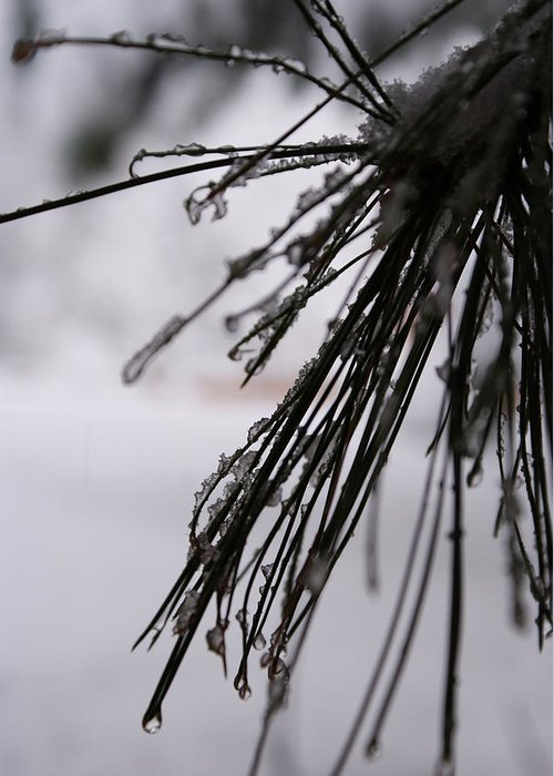 Closeup Greeting Card featuring the photograph Icy Pine by Brian Anderson