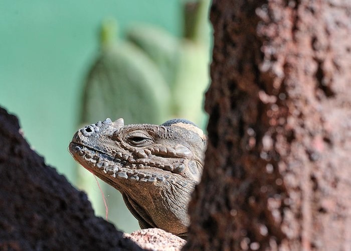 Iguana Greeting Card featuring the photograph Iguana Head by Tom Dowd