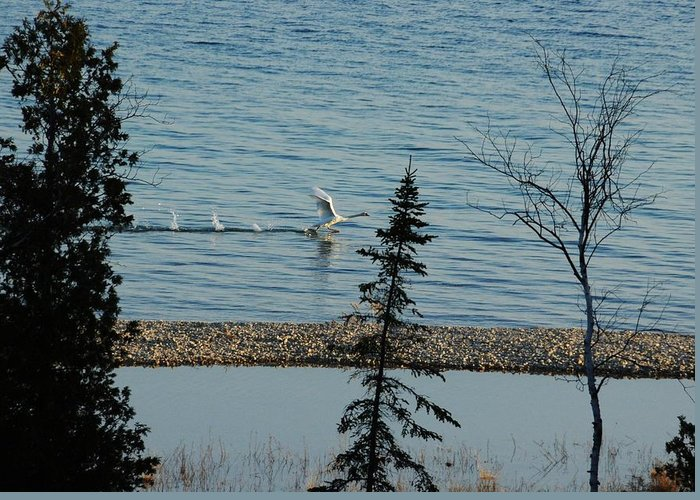 Swans Greeting Card featuring the photograph I'll Fly Away by G Teysen