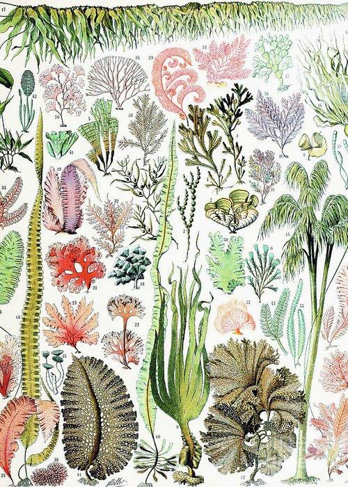 Algae Drawings Greeting Cards