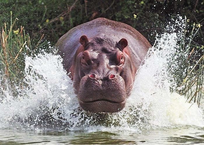 Hippo Greeting Cards