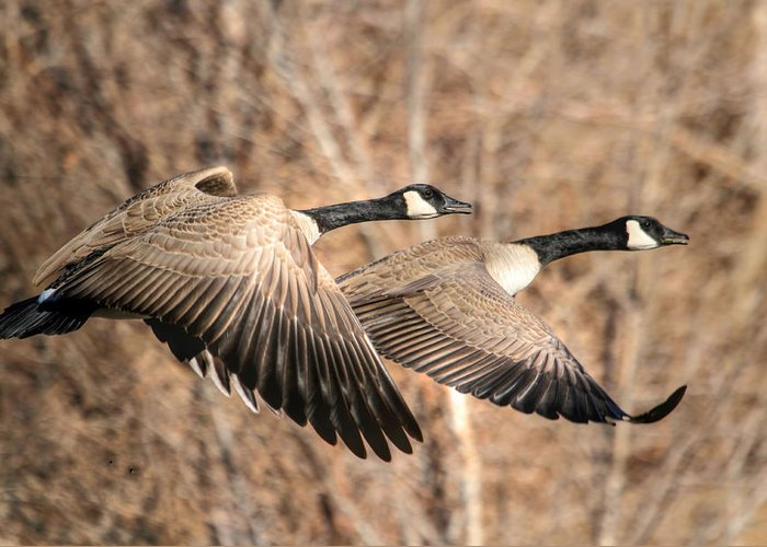 Canadian Goose Greeting Cards