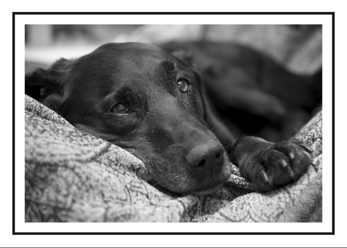 Black Labrador Greeting Card featuring the photograph I'm Sleepy by Petra Mayer