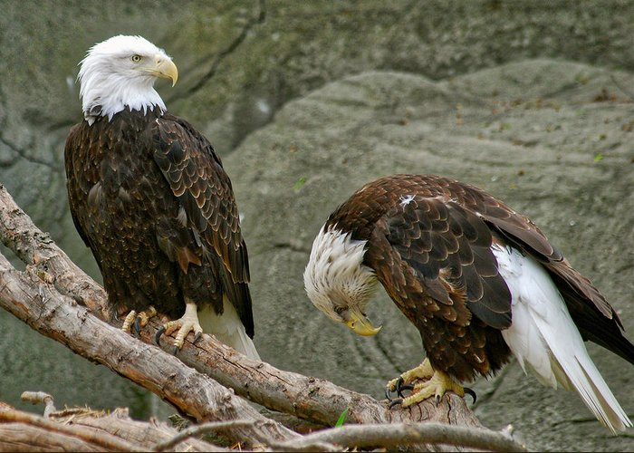 Eagle Greeting Card featuring the photograph I'm Sorry by Michael Peychich