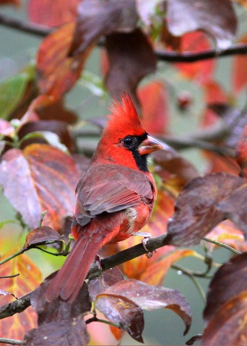 Northern Cardinal Greeting Card featuring the photograph Img_ 8621 - Northern Cardinal by Travis Truelove