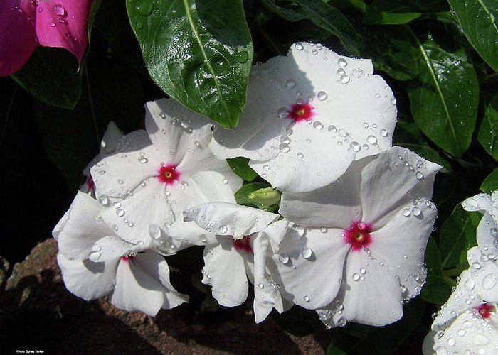 Impatiens Greeting Card featuring the photograph Impatiens by Cathy Klopfenstein