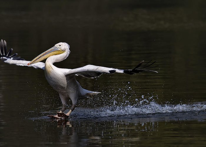 Pelicans Greeting Cards