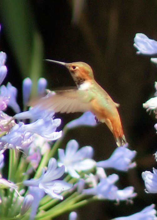 Hummingbird Greeting Card featuring the photograph In Flight by Ellen Lerner ODonnell