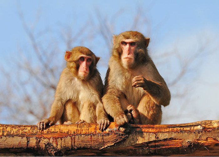 Monkeys Greeting Card featuring the photograph In Love by Alessandro Matarazzo