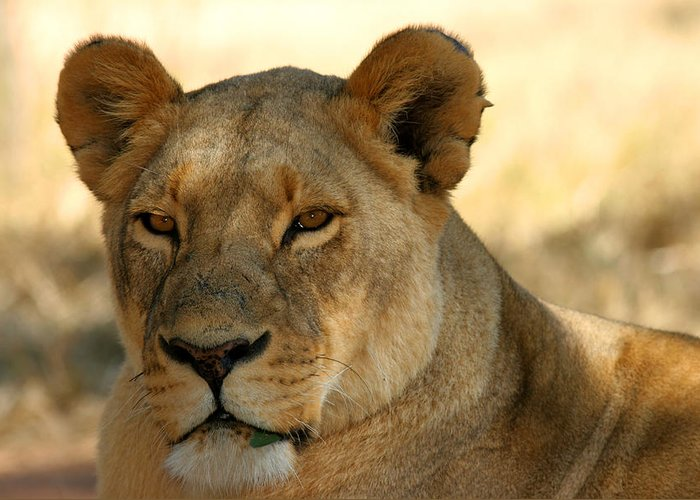 Wildlife-african Lioness Greeting Card featuring the photograph In My Sight by John Bradford