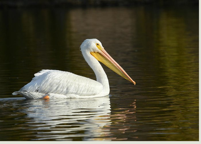 American White Pelican Greeting Card featuring the photograph In The Calm Of The Morning by Fraida Gutovich