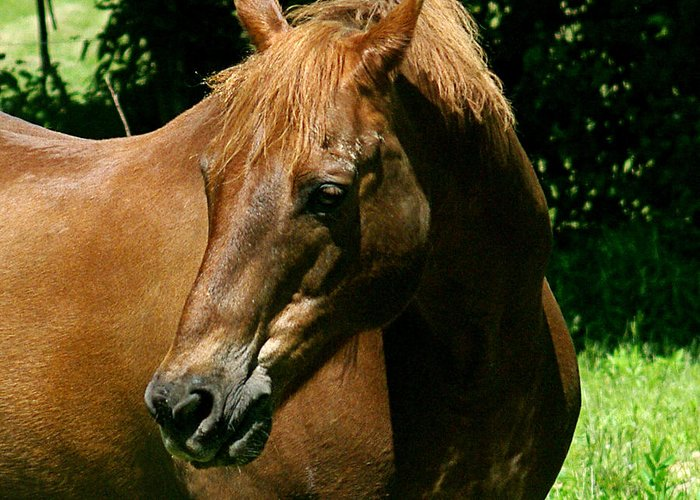 jenny Gandert Rexx red Hot Rolexx Chestnut Light Pasture Sun Shadows Darks Head Copper Greeting Card featuring the photograph In The Light by Jenny Gandert