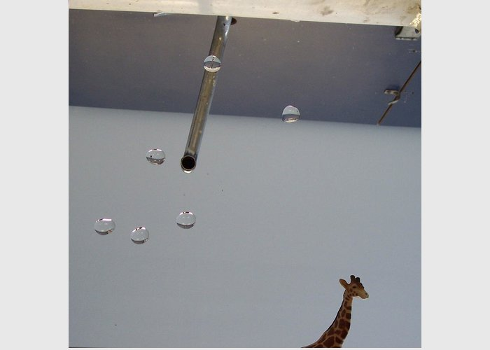 Giraffe Greeting Card featuring the photograph In the Sink by Michelle Miron-Rebbe