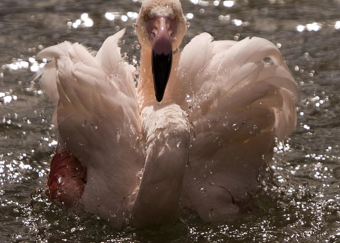 Flamingo Greeting Card featuring the photograph In The Water by Angel Ciesniarska