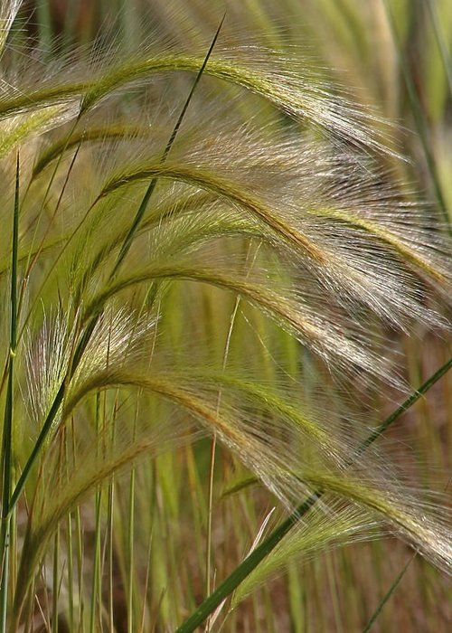 Grass Greeting Card featuring the photograph Indiangrass Swaying Softly With The Wind by Christine Till