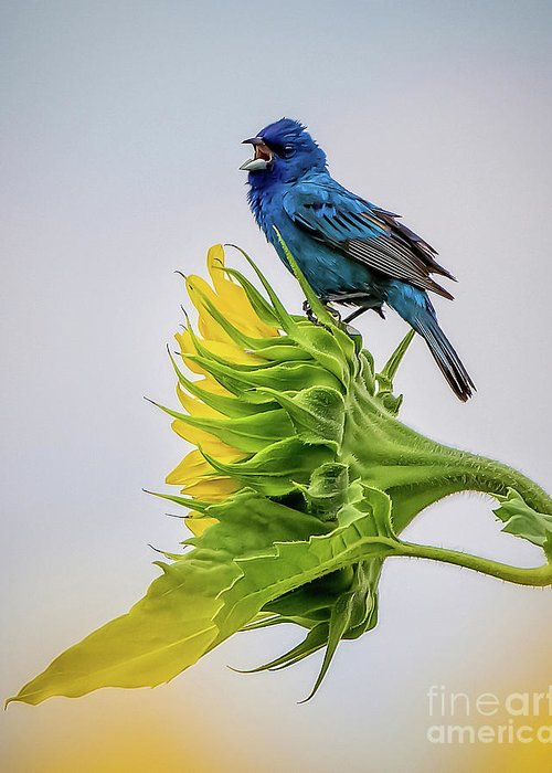 Bird Greeting Card featuring the photograph Indigo Bunting Sunflower by Monica Hall