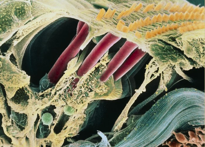 Magnified Image Greeting Card featuring the photograph Inner Ear Organ Of Corti by Dr Goran Bredberg