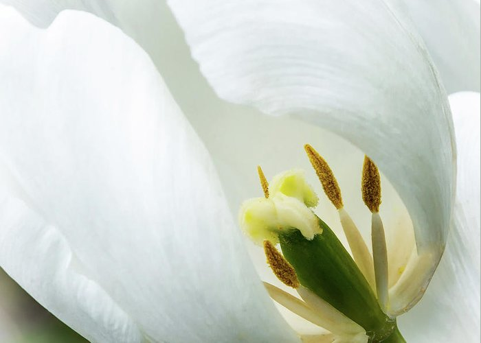 Tulip Greeting Card featuring the photograph Inner Essence by Carol Lloyd