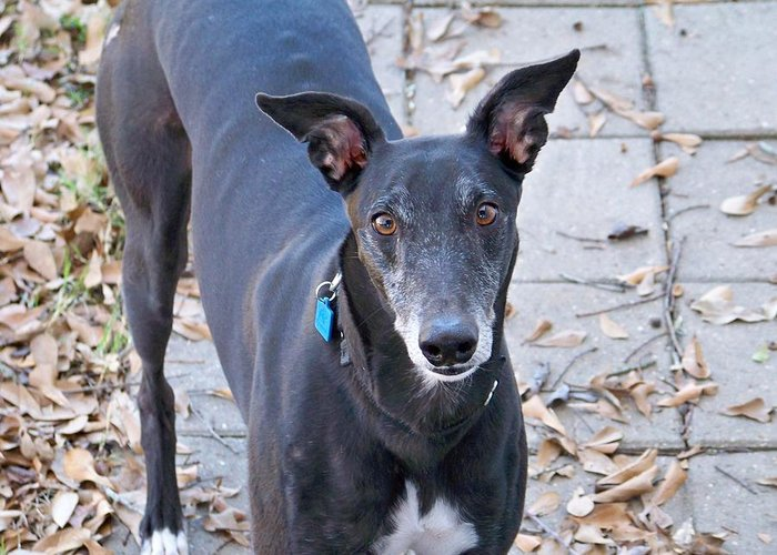 Greyhound Greeting Card featuring the photograph Inquisitive by Laura Conner