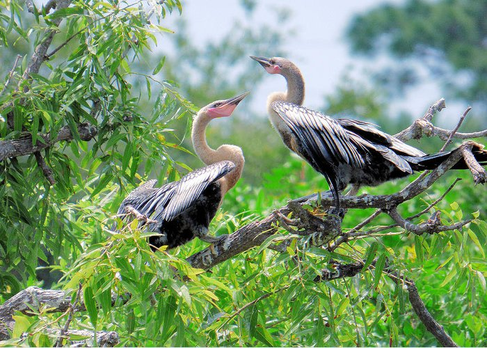 Bird Greeting Card featuring the photograph Interacting Young Anhingas by Rosalie Scanlon