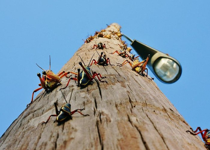 Grasshoppers Greeting Card featuring the photograph Invasion Of The Lubbers by Lynda Dawson-Youngclaus