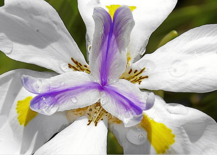 Flower Greeting Card featuring the photograph Iris An Explosion Of Friendly Colors by Christine Till
