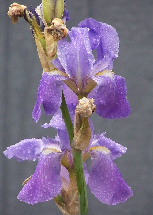 Lavendar Iris Greeting Card featuring the photograph Iris Blooms In The Rain by Laurie Kidd