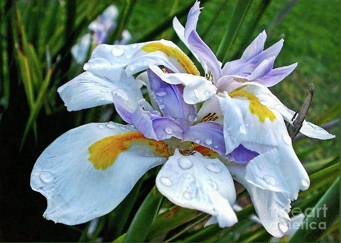 Photography Greeting Card featuring the photograph Iris Enjoying The Sunshine by Kaye Menner